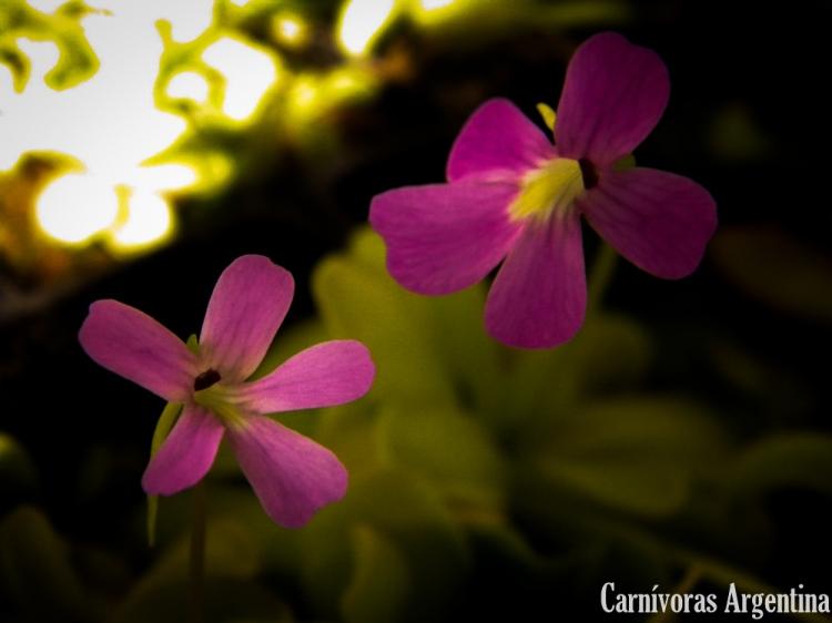 plantas-carnivoras-argentina-pinguicula-1