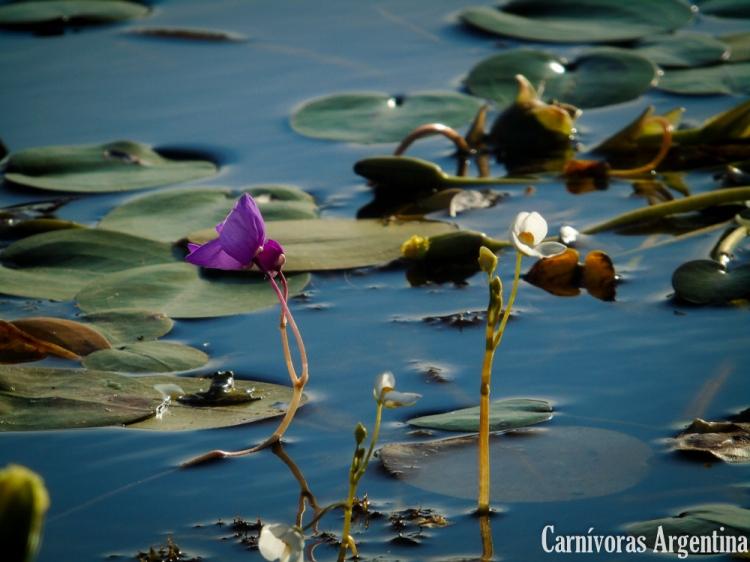 Utricularias: plantas carnívoras de Argentina