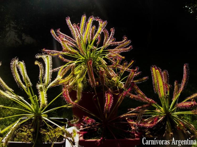 Drosera capensis: Una especie ornamental con gran cantidad de variedades