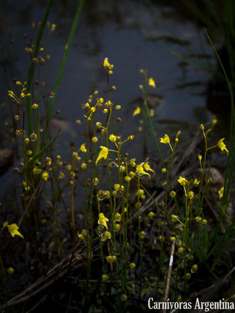 utricularia-pusilla-habitat-panama-1