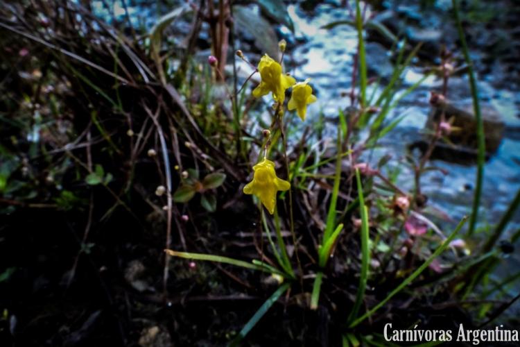 utricularia-pusilla-habitat-panama-victoria-coppini-1
