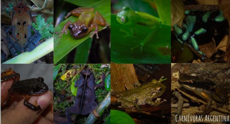anfibios del chuncati-1