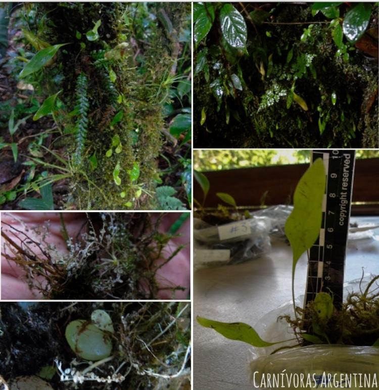 utricularia-alpina-o-endressi