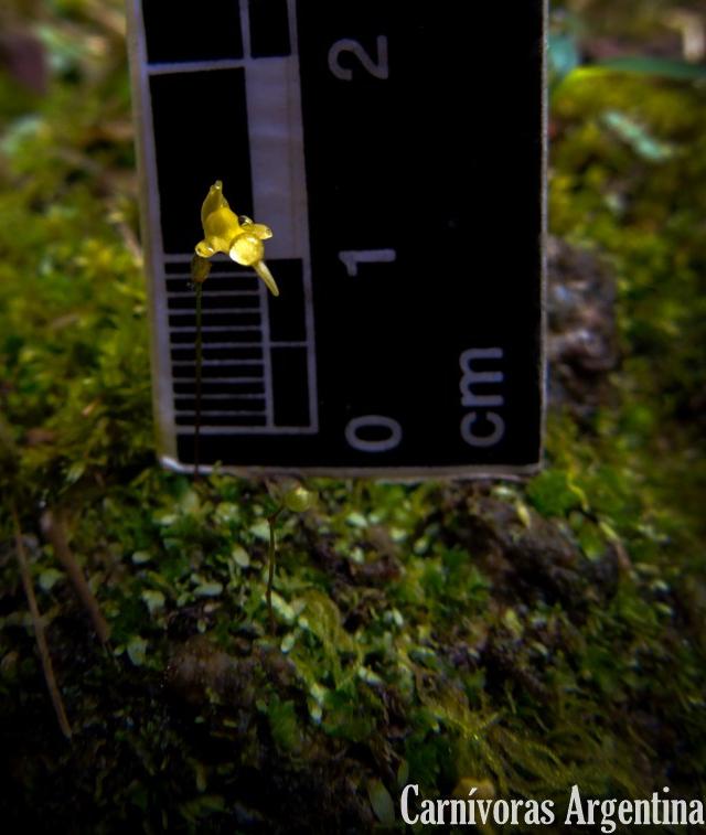 utricularia-panama-plantas-carnivoras