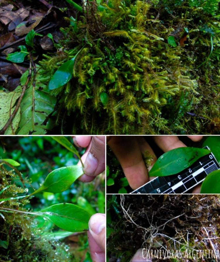 utricularia-praetermissa-4.jpg