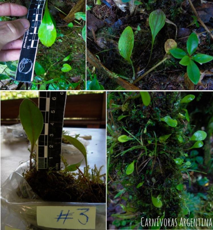 utricularia-sin-id-3.jpg
