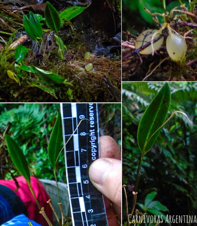 utricularia-sin-id-5.jpg