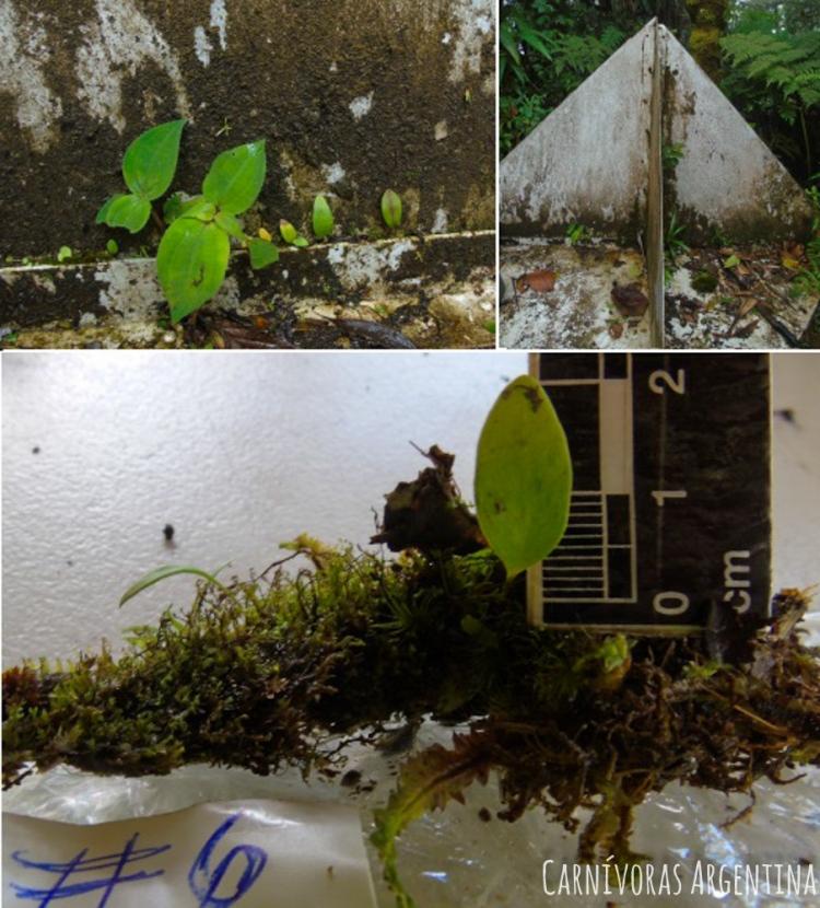 utricularia-sin-id-6-1.jpg