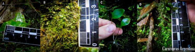 utricularias-valle-de-anton-plantas-carnivoras