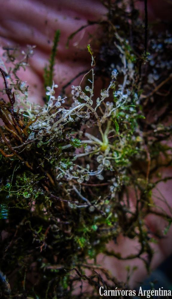 utriculos-utricularia-panama-planta-carnivora.jpg
