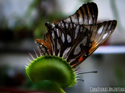 La venus atrapamoscas puede atrapar distintos insectos