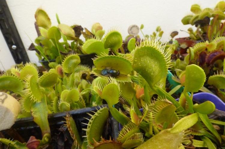 Cultivar plantas carnívoras es fácil
